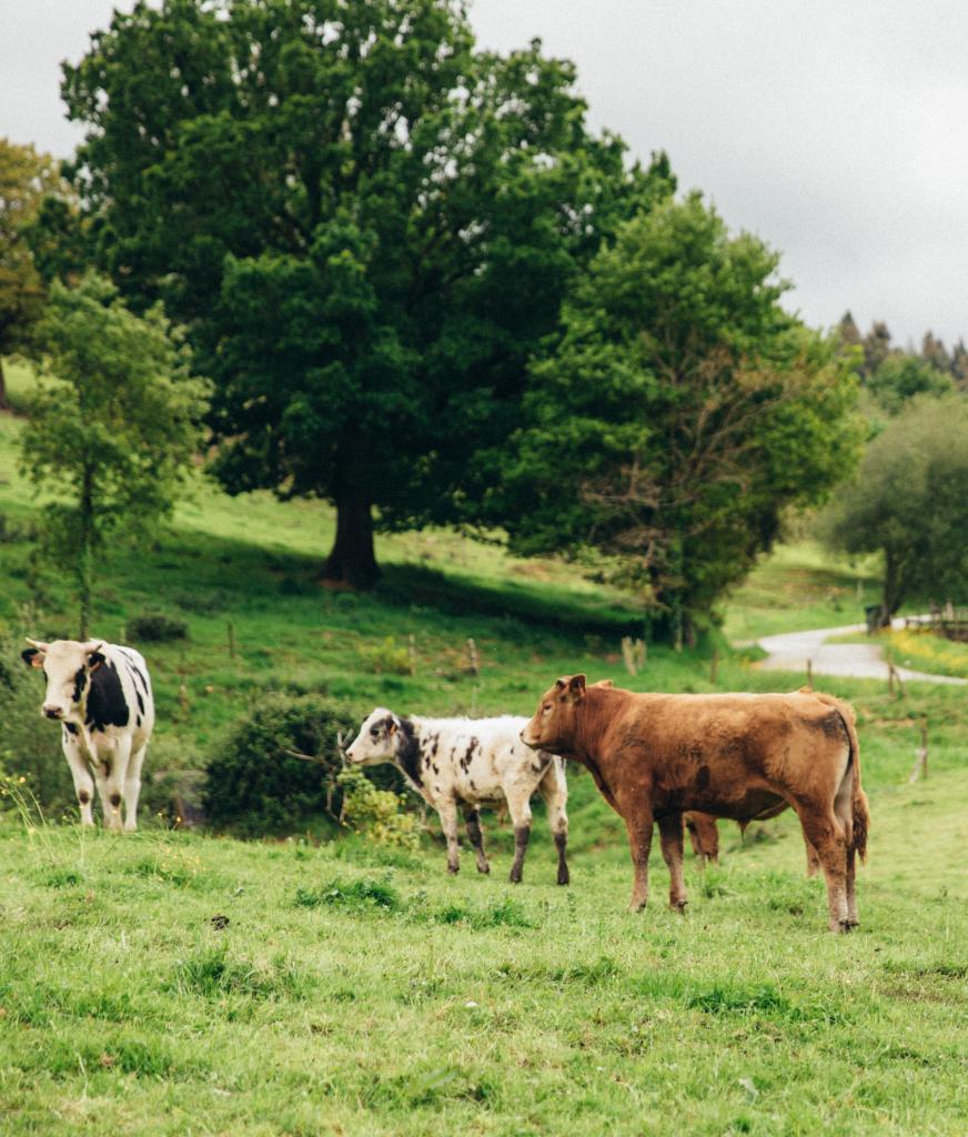 vacas pastando libremente en finca primorias